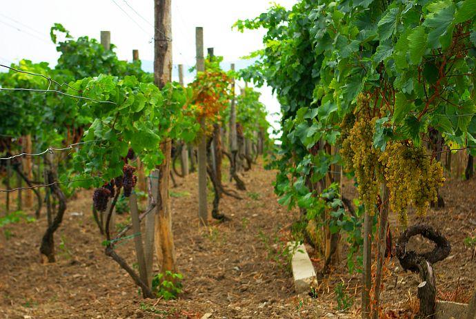 badacsony winnice balaton
