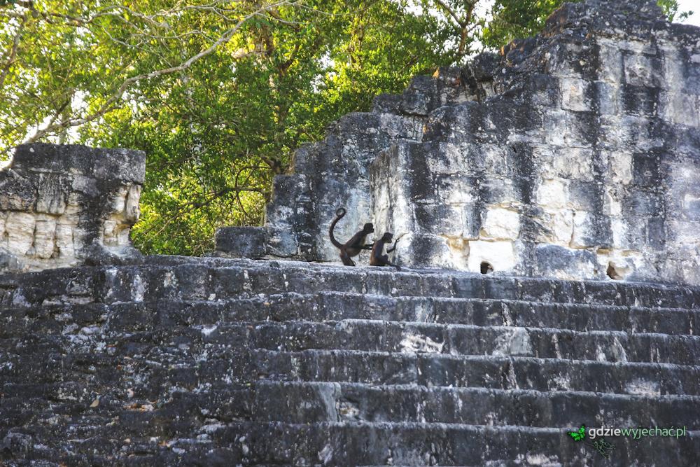 Tikal Spider monkey