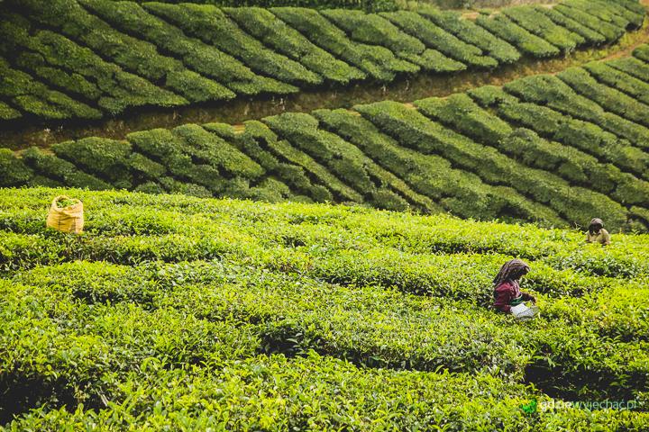 munnar indie plantacje herbaty