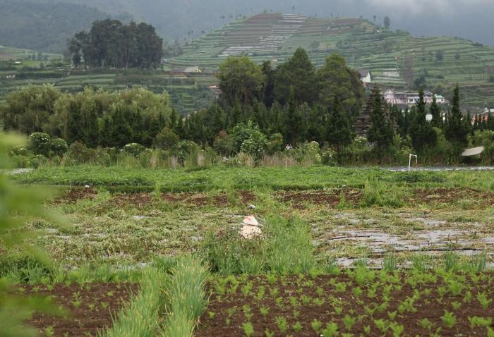 pola ryzowe